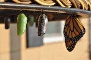Todo se transforma. Metamorfosis Mariposa
